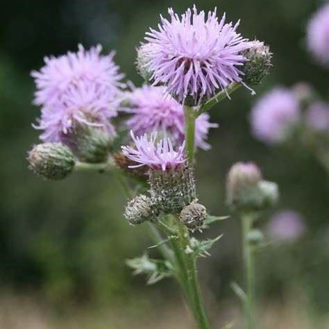 Blooming Canada Thistle